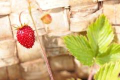 Bush with one strawberry on stem. Wood birch bark background Royalty Free Stock Photos