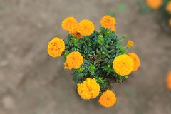 .A bush of orange carnations smiles at the sun. A bush of orange carnations on an isolated background royalty free stock photo