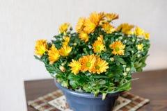 Bush orange chrysanthemum in a pot royalty free stock photography