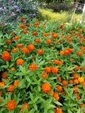 Bush of orange flowers royalty free stock image