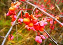 Bush with orange and pink blossoms royalty free stock photo