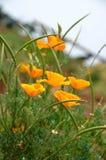 A bush of orange poppy Royalty Free Stock Image