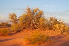 Bush in orange sunset light Stock Photos