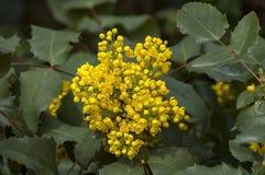Bush of Oregon grape or Mahonia aquifolium in springtime. Sofia, Bulgatia royalty free stock photography