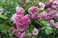 Bush of ornamental roses. Bush of decorative roses with flowers and green leaves Royalty Free Stock Photography