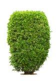 Bush ou arbustes d'isolement image libre de droits