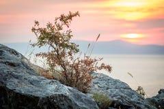 Bush ou planta nas rochas do penhasco e por do sol sobre o mar Fotografia de Stock