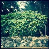 Bush over steenmuur, Maui, Hawaï stock foto's