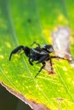 Bush pająk na liściu Obraz Stock