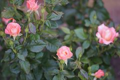 A bush of pale pink climbing roses, rose flower. S stock images