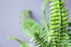 Bush paprociowa roślina Fotografia Stock