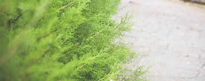 Bush on the pathway. blurred background. FReah green bush on the pathway. blurred background Stock Photos