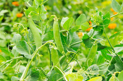 Bush of peas growing Royalty Free Stock Photo