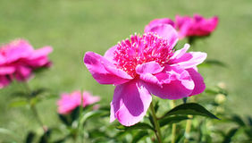 Bush peony flower Stock Images