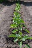 Bush pepper Stock Photos