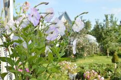 Bush petunias in a pot on the background of a village house, lovely rural views Stock Photos
