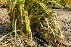 Bush of Phormium tenax variegatum. The bush of Phormium tenax variegatum growing in the wet ground in sunny summer day Stock Photography