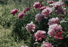 Bush piękne różowe peonie na tle zielona trawa R??owi i biali kwiaty w ogr?dzie Peonie r w trawie zdjęcia royalty free