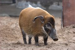 Bush pig Stock Image