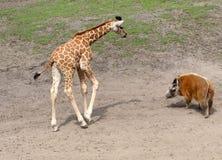 Bush Pig meets Giraffe Royalty Free Stock Photos