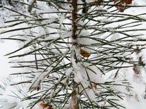 Bush pine Stock Image