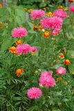 The bush of pink aster in the background of blackberry shows that soon the end of summer. For your design stock image
