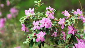 Bush pink azaleas. In the Botanical garden Royalty Free Stock Images