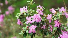 Bush pink azaleas. In the Botanical garden royalty free stock images