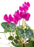 Bush pink flower cyclamen. Blooming bush pink flower cyclamen isolated on white background Royalty Free Stock Photo