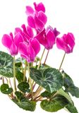 Bush pink flower cyclamen. Blooming bush pink flower cyclamen  on white background Royalty Free Stock Photo