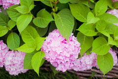 Bush of pink flower hydrangea blooming in the garden Royalty Free Stock Photo