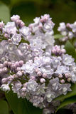 Bush of Pink Lilac. Beautiful Flowers Stock Photography