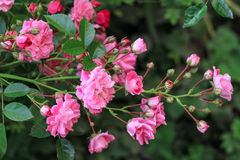 Bush of pink little roses. On a green background Royalty Free Stock Photo
