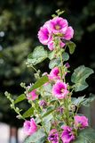 The bush of pink mallow flowers in the garden of the sunny sum royalty free stock photography
