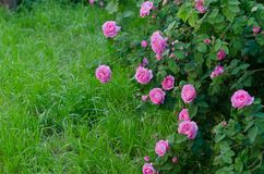 Bush of pink miniature rose in the flower garden, Stock Photography