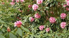 A bush with pink rhododendron flowers sways in the wind. Panoramic shoot stock footage