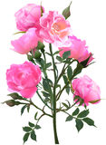 Bush with pink rose blooms on white Royalty Free Stock Photography