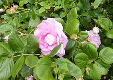 Bush pink rose in summer stock image