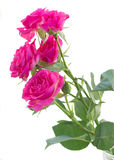Bush of pink roses close up Stock Images