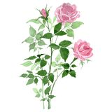Bush of pink roses floral botanical flowers. Watercolor background set. Isolated rose illustration element.