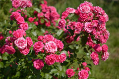 Bush of pink roses. In garden stock image