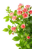 Bush with pink roses and green leafes Stock Image