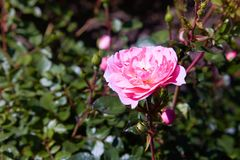 Bush of pink roses growing in garden. royalty free stock photo