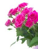 Bush of pink roses Stock Photo