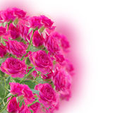 Bush of pink roses Royalty Free Stock Image