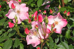 Bush of pink roses Royalty Free Stock Photos