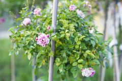 Bush with pink roses in summer garden, selective focus Stock Image