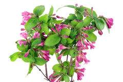 Bush of Pink Weigela isolated Royalty Free Stock Photography