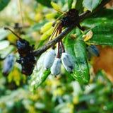 Bush. Plant from spain, Magnolie, plantfruits Stock Images