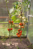 Bush pomidory Fotografia Royalty Free